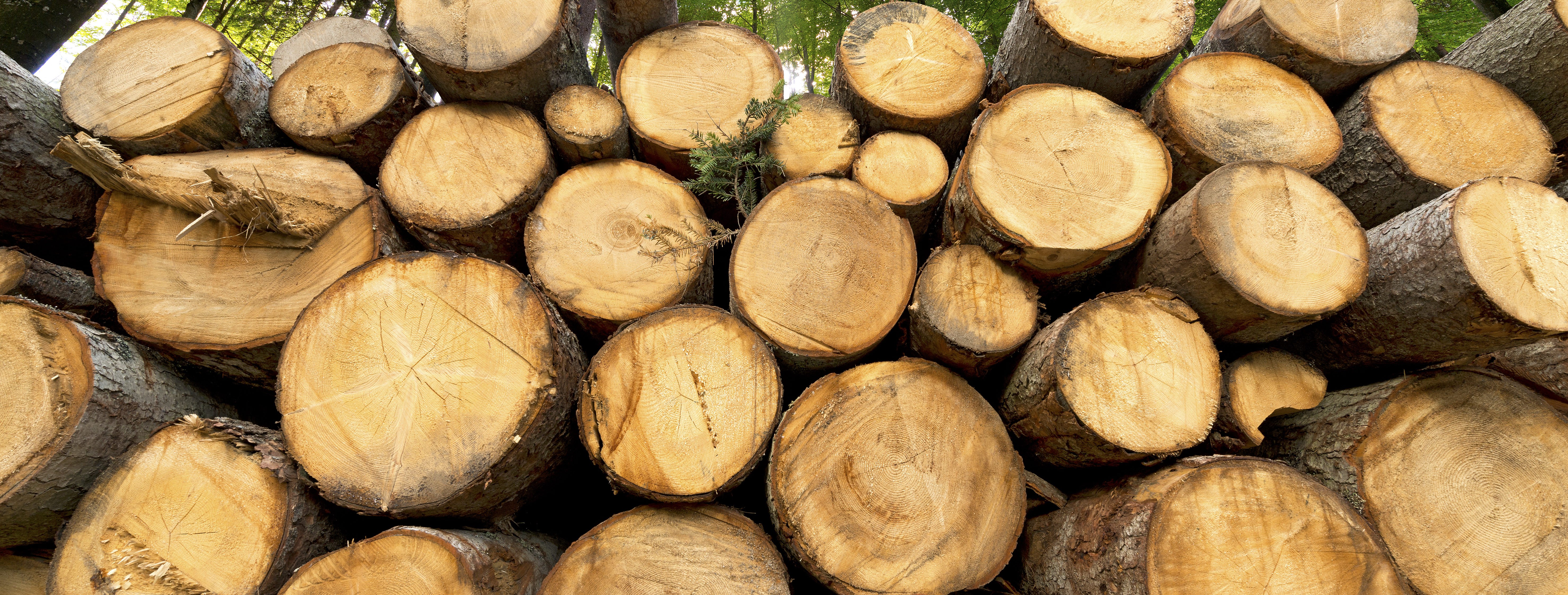 A pile of wood prepared for export from the forest. Fog in deciduous forest in the morning.
